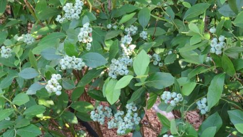 Zdrave ameriške borovnice z mojega vrta