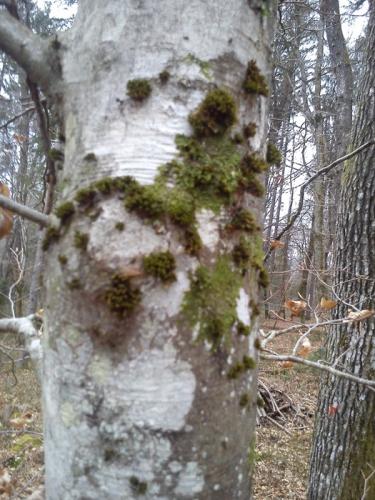 breza pripoveduje