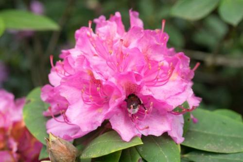 Priljubljeni rododendroni imajo radi kisla tla.