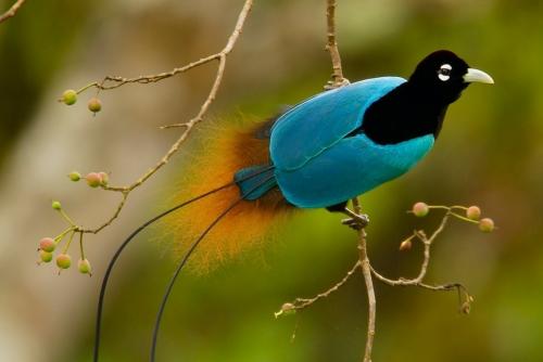 Rezultat iskanja slik za birds on island nugini