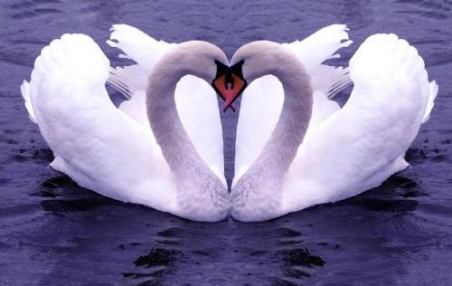 zaljubljena laboda
