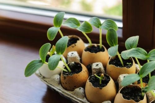 Jajčne lupine lahko spremenite v ljubke in razgradljive lončke.