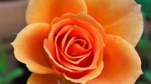 Rezultat iskanja slik za vrtnice nasad