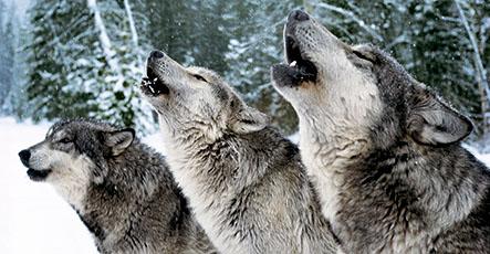 Rezultat iskanja slik za krdelo volkov foto