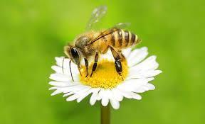 Rezultat iskanja slik za čebele na paši slike