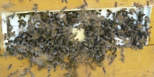 Rezultat iskanja slik za čebelji rop slike