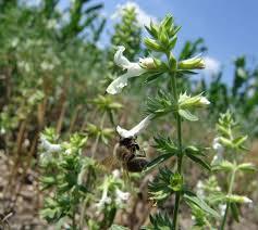 Rezultat iskanja slik za beli bosiljak pčelinja paša