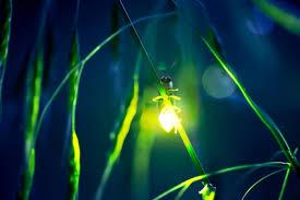 Rezultat iskanja slik za firefly