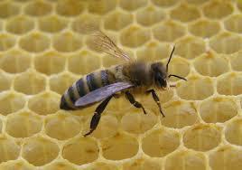 Rezultat iskanja slik za zakaj čebele izginjajo slike