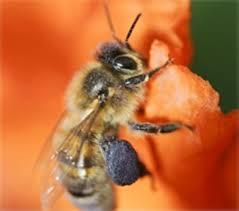 Rezultat iskanja slik za čebelja zadelavina slike