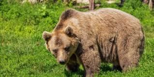 Rezultat iskanja slik za medved in čebele slike