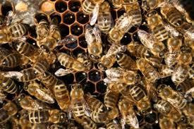 Rezultat iskanja slik za med v satju čebele slike