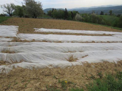 Zgodnje sorte prekrivamo z vlakninastimi prekrivkami.
