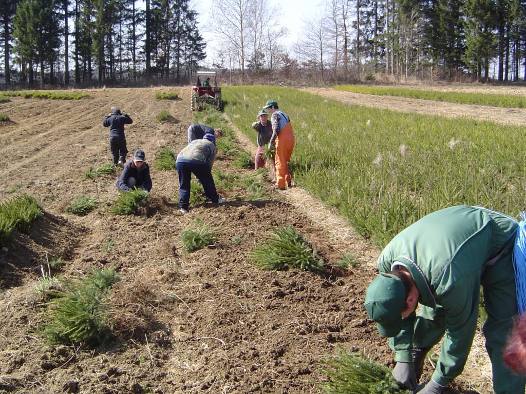 Po strojnem izkopu delavci v varni medsebojni razdalji sortirajo sadike in jih dajo takoj v zasip (viden skrajno levo).