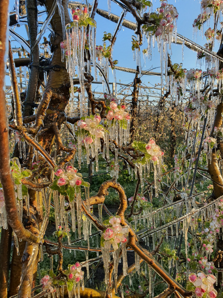 Cvetovi jablan obdani z ledom med oroševanjem