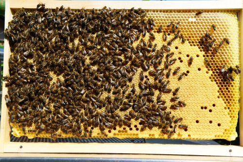 Strnjena pokrita čebelja zalega, v kateri skoraj ni videti prazne celice, je odlično spričevalo za kakovost matice. Čeprav je morda stara že dve leti, jo bomo vseeno uporabili za novo družinico – narejenca.