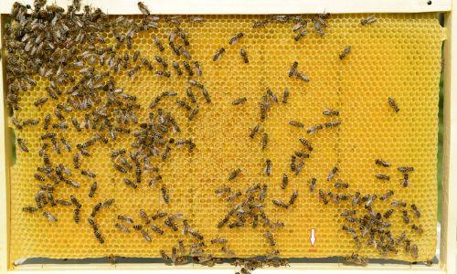 To je sat z odkrito mlado čebeljo zalego, na spodnjem robu pa so še jajčeca. Označimo ga, ker bomo po osmih dneh našli na njem najkakovostnejše matičnike, iz katerih bomo vzredile čebele najboljše matice.