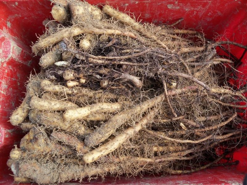 svetlobni koren je zdravilna rastlina