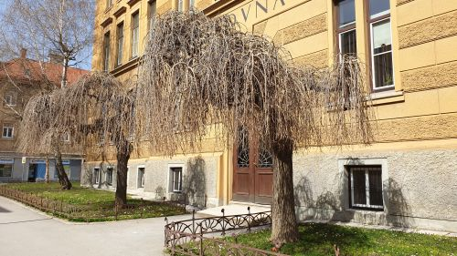 Povešavi murvi pred vhodom osnovne šole v Celju