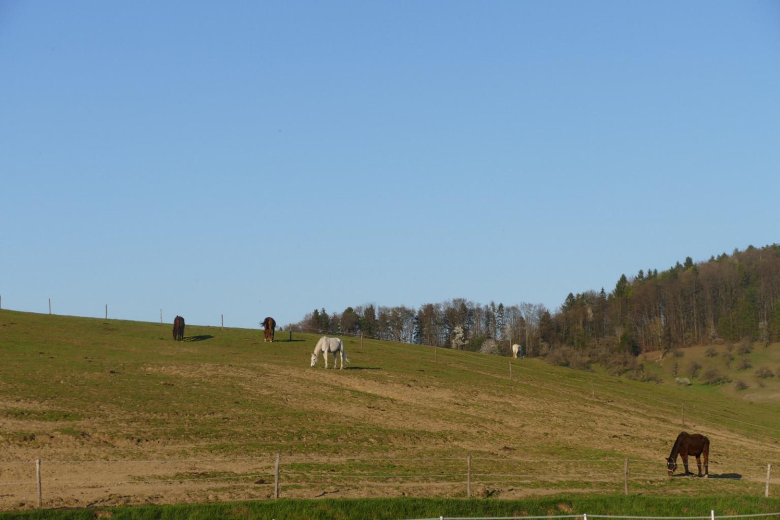 Konji so na pašnikih od jutra do poznega večera.