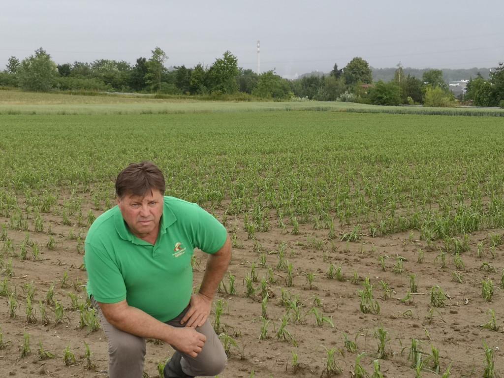 Mirko Kosi upa, da se bo po toči poškodovana koruza zarasla.