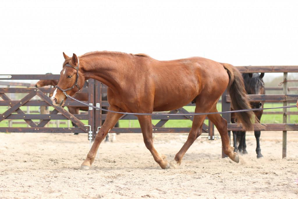 Absolutno najpomembnejša stvar pri spopadanju s kissing spines je učenje uravnoteženega gibanja, kjer konj aktivno uporablja mišice centra in pravilno deluje preko hrbta.