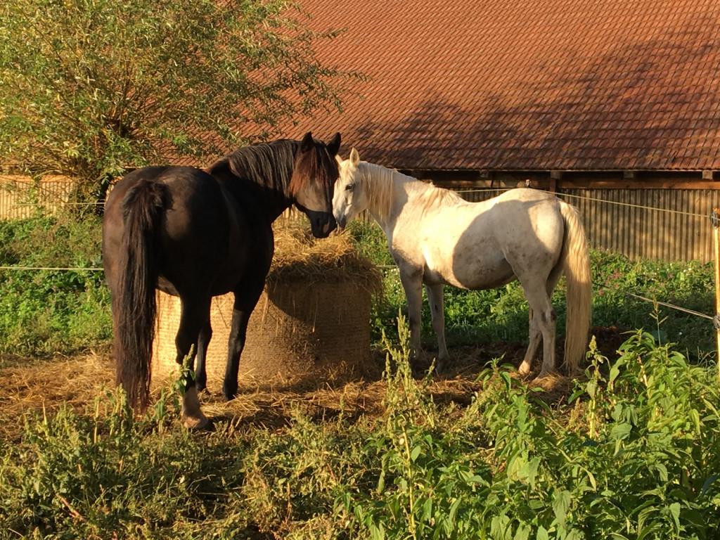 Konji, ki zlahka pridobijo na telesni teži, so bolj podvrženi tveganju za nastanek laminitisa. Pri njih se je potrebno strogo držati preventivnih smernic.