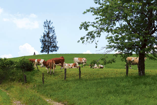 Dolinarjeve krave na paši ob kmetiji
