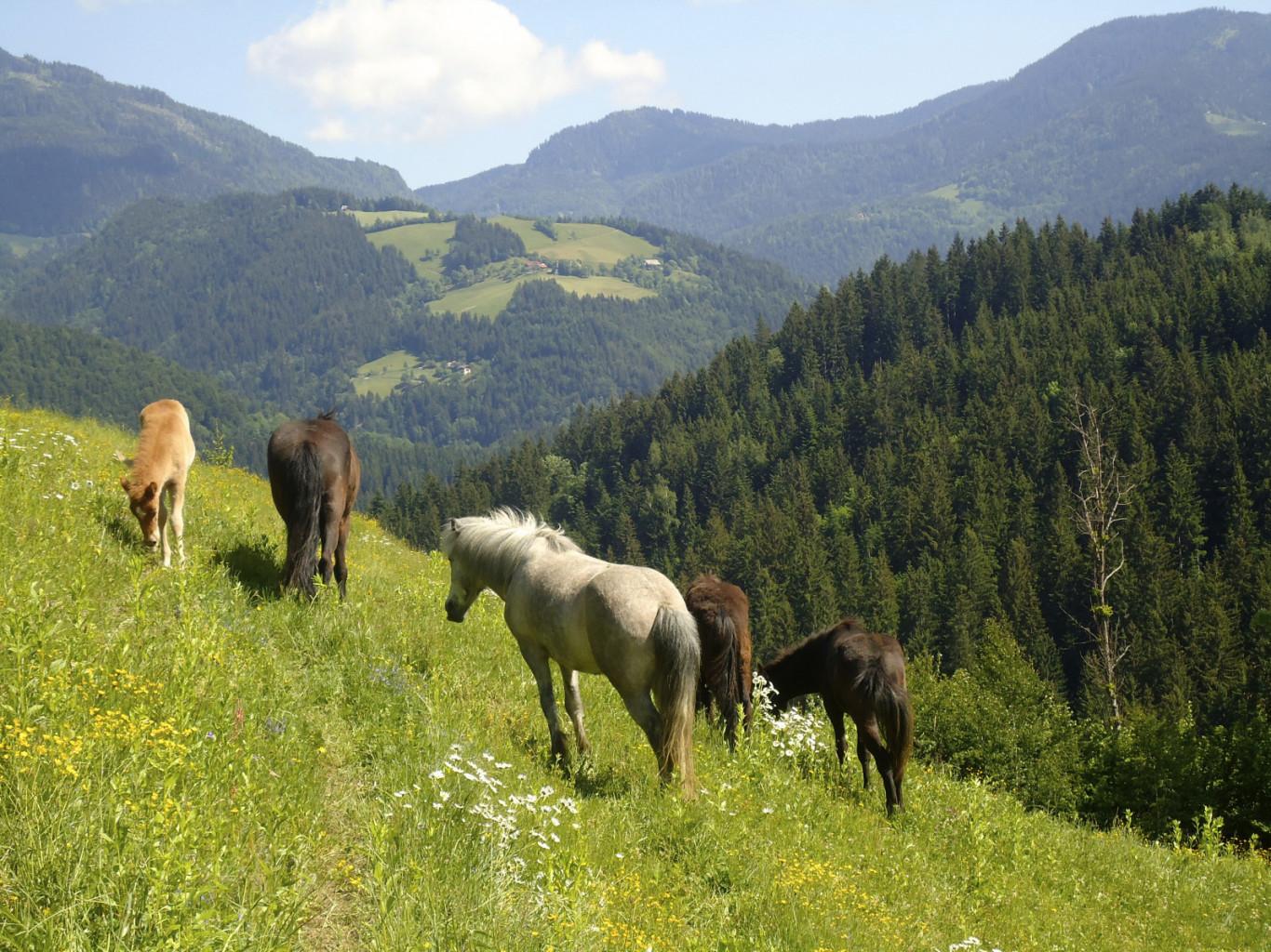 Čreda islandskih konj na pašnikih v Krnici