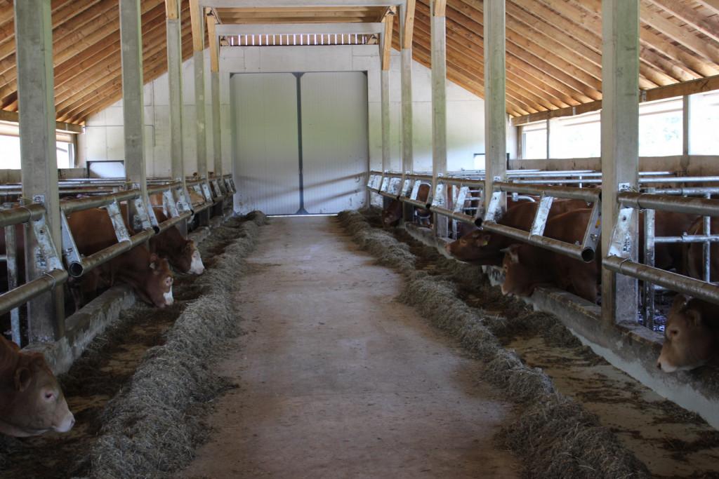 Notranjost novega hleva za mlado pitano govedo