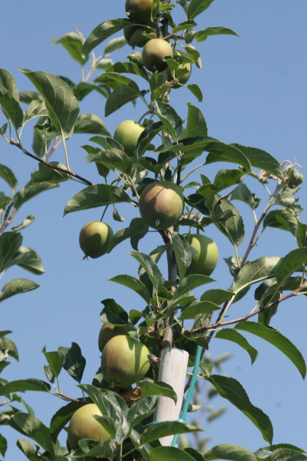 Umirjena uravnotežena rast na vrhu drevesa.