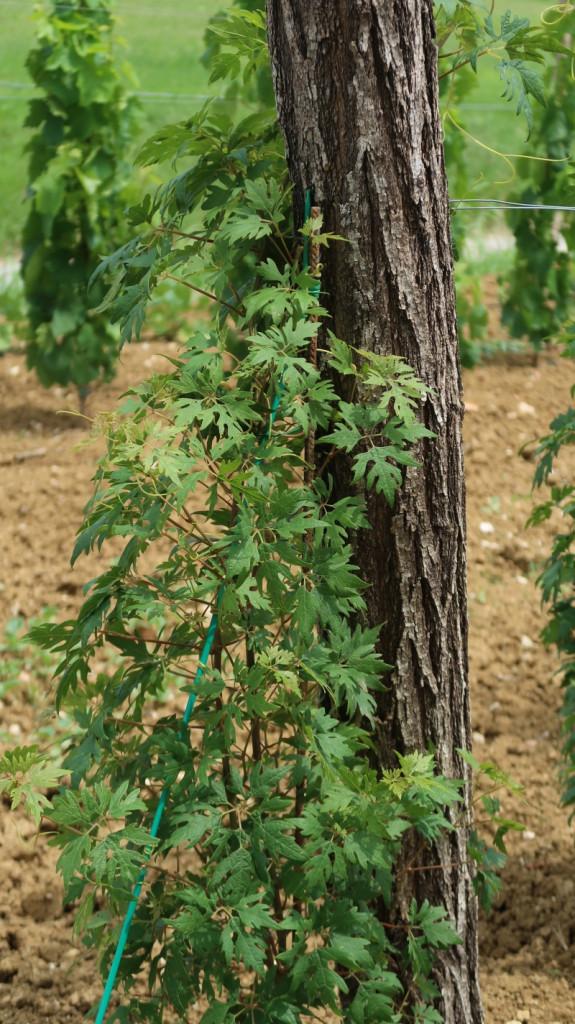 V viteškem vinogradu Gvida Mahniča raste posebna sorta peteršiljka, ki rodi belo grozdje<br>