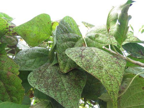 Z rjo močno okuženo listje