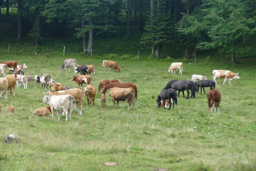 Na čredinki pastirja Jake Poljanška se pase več kot dvesto krav in 12 konj.