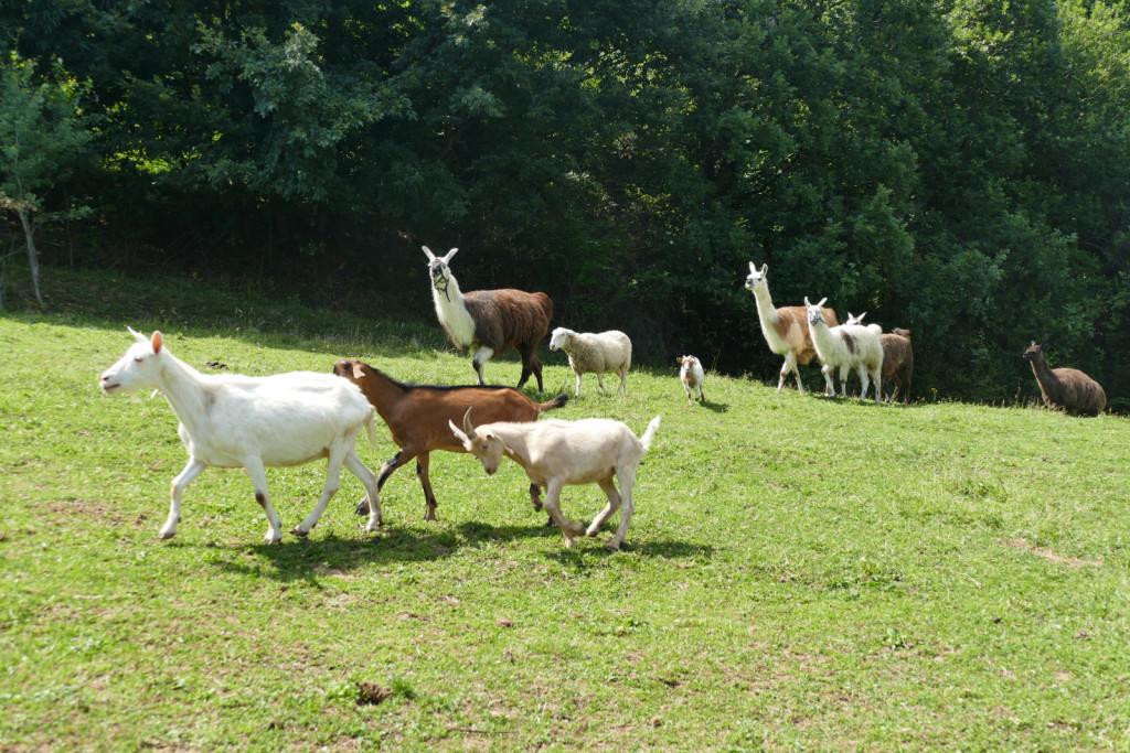 Konji si pašnik delijo z lamami, kozami in ovco.
