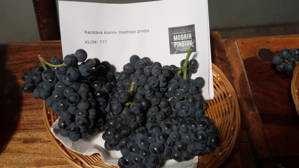 Klon modrega pinota 777  je najbolj znan burgundski klon z majhnimi jagodami in grozdi.<br>