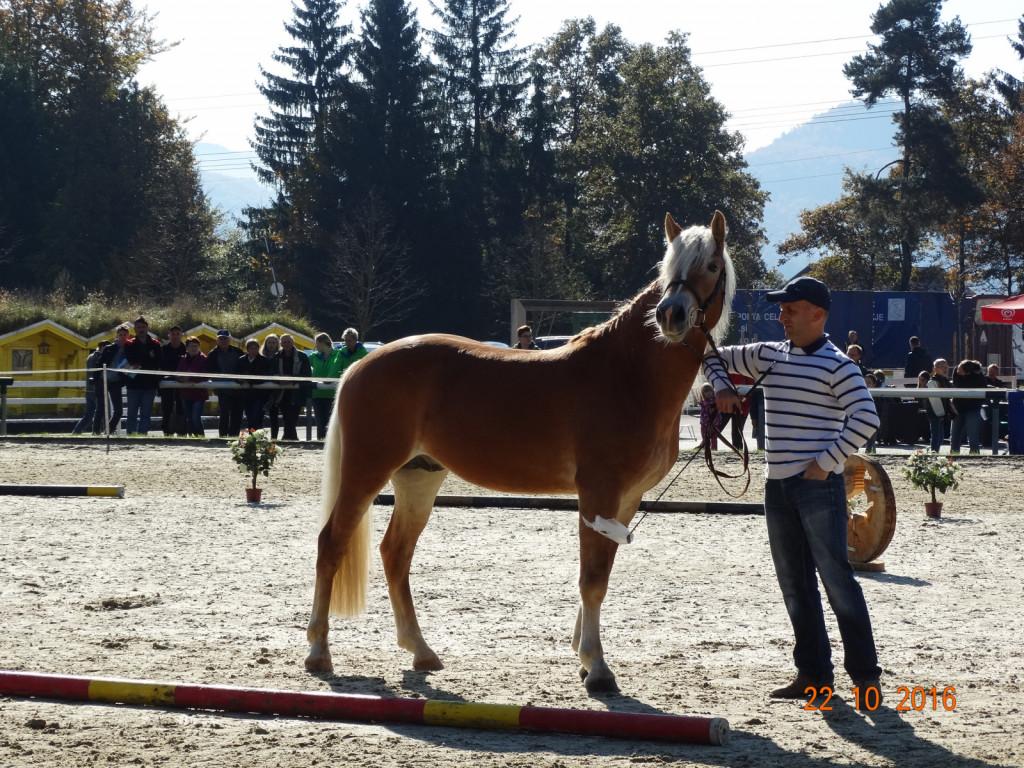 Wonderful (Woodland x Herbstwind), uspešno licenciran žrebec leta 2017, kot žrebe ga je Dejan pripeljal iz Tirolske, njegova lastnica je Irena Kerin.