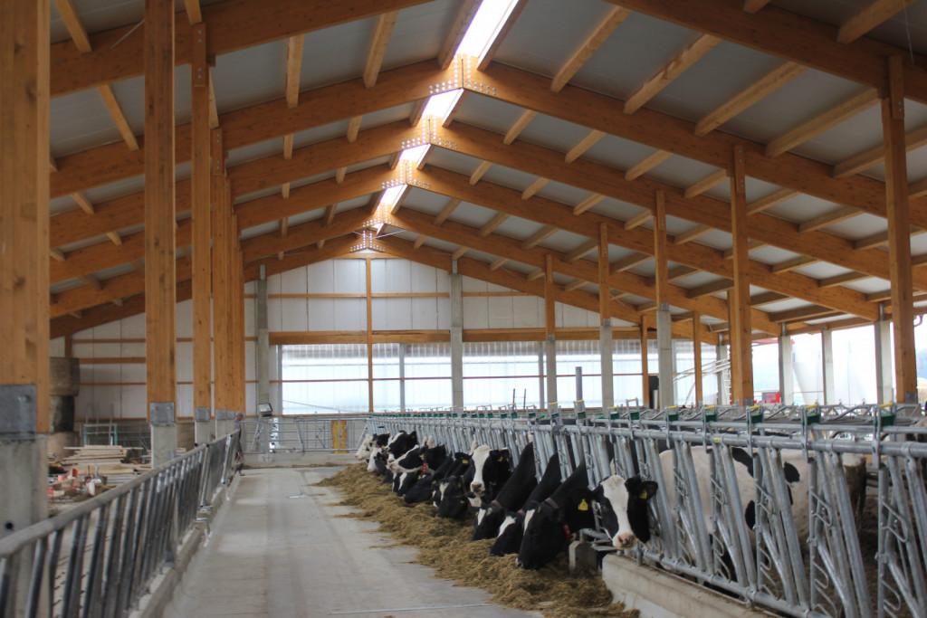 Več prostora na kravo vpliva na velikost hleva