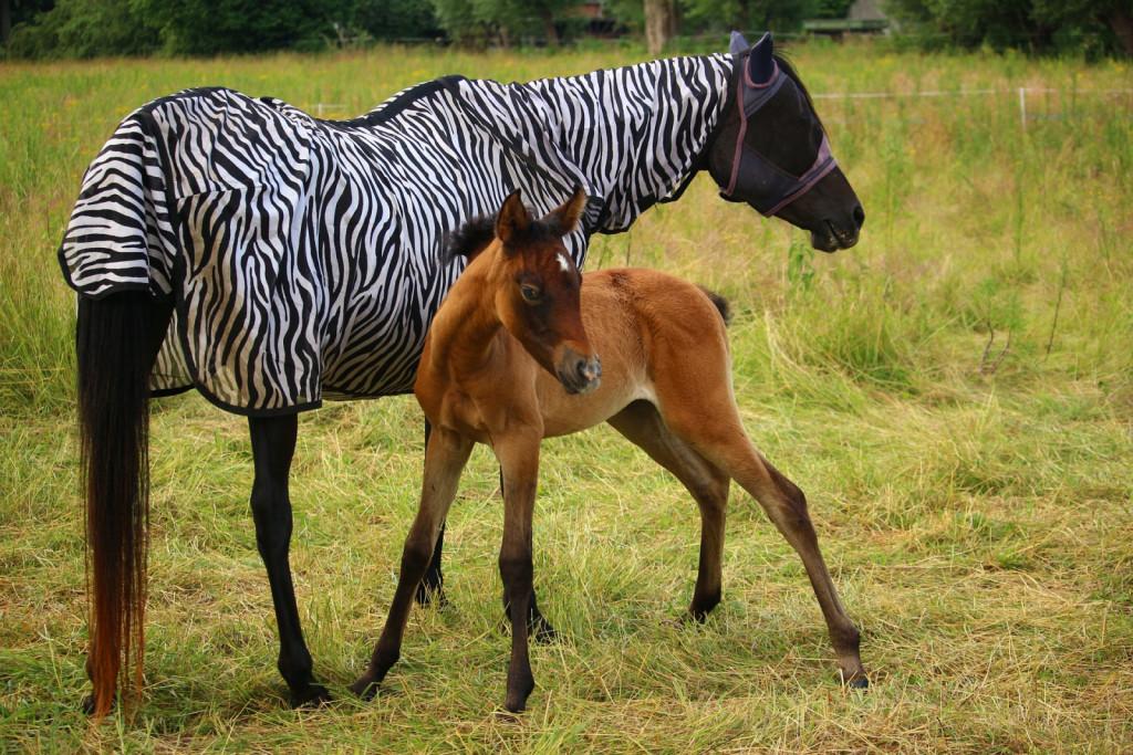 Konja boste pred nadležnimi muhami ubranili z zaščitnimi mrežicami in pregrinjali.