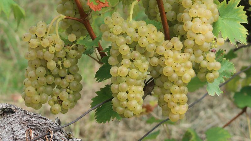 Laški rizling v vinogradu Horvatovih v Počehovi je bil letos izjemno dobre kakovosti.