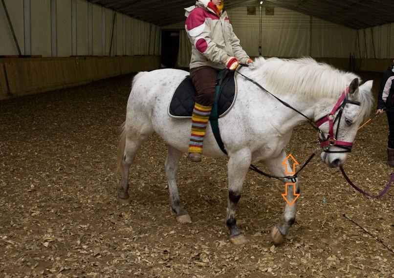 Konji pogosto bežijo od togega delovanje fiksne vajeti, pripete med sprednjima nogama, tako, da zavzamejo držo glave za vertikalo, bližje prsim. Takšna drža ustvarja veliko napetosti v vratu (C2-C3) in povzroča še večji prenos teže na sprednji del konja. Ponavljajoči se pritiski zaradi poskakovanja fiksne vajeti (oranžni puščici) pa delajo konja še manj občutljivega na usta. Tudi konjevo vidno polje je manjše.