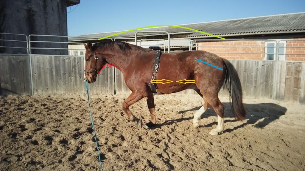 Tudi pri mladih konji lahko preko telesne govorice in dejstev lonže ter biča izzovemo pravilno držo na lonži (na fotografiji je 4-letnik na začetku uvajanja). Lahko celo ujamemo trenutke začetne zbranosti, ki jih konj sam ponudi. Če pri tem ne uporabljamo pripomočkov za lonžiranje, ki omejujejo konjevo gibanje predvsem glave in vratu, potem lahko s takojšnjim popuščanjem pravilno gibanje pravočasno nagradimo. Zato bo konj bolj motiviran k samostojnemu iskanju lastnega ravnotežja.