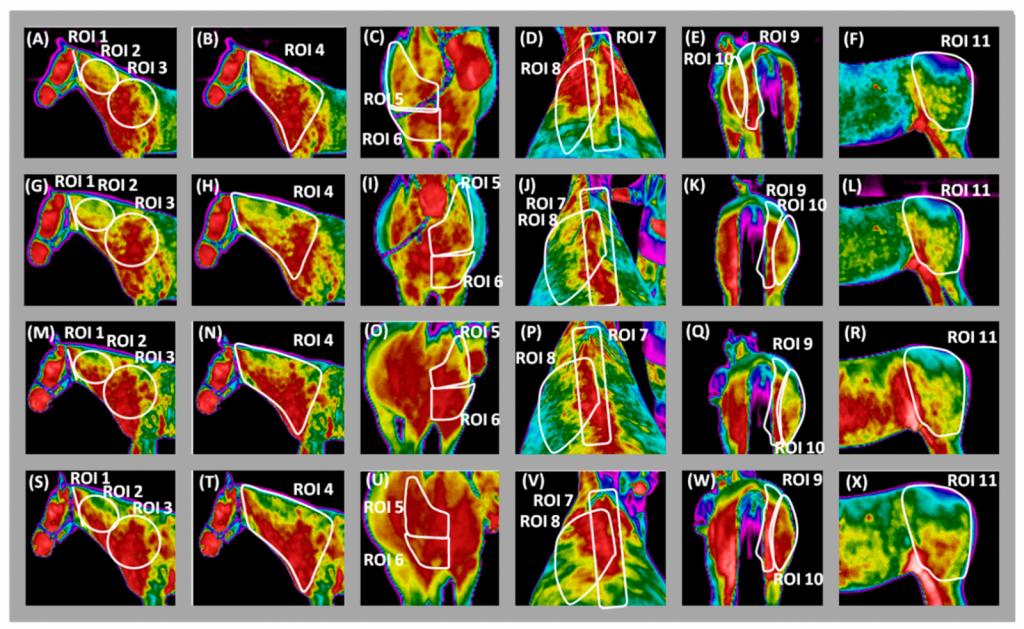 Poljski strokovnjaki so s termografskimi posnetki proučevali vpliv različnih pripomočkov za lonžiranje, ki so pogosto v uporabi. Poizkus je zajemal 16 konj, pri katerih so opazovali temperaturo mišic v različnih delih telesa po treningu. Primerjali so vpliv šambona, elastik in trikotnih stranskih vajeti s prosto držo glave.  (Foto: Maśko, M.; Zdrojkowski, L.; Domino, M.; Jasinski, T.; Gajewski, Z. ThePatternofSuperficialBodyTemperatures in LeisureHorsesLungedwithCommonly Used Lunging Aids. Animals 2019)