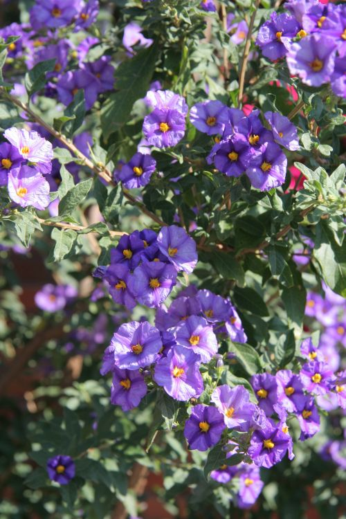 Rantonetijeva krompirjevka (Solanum)