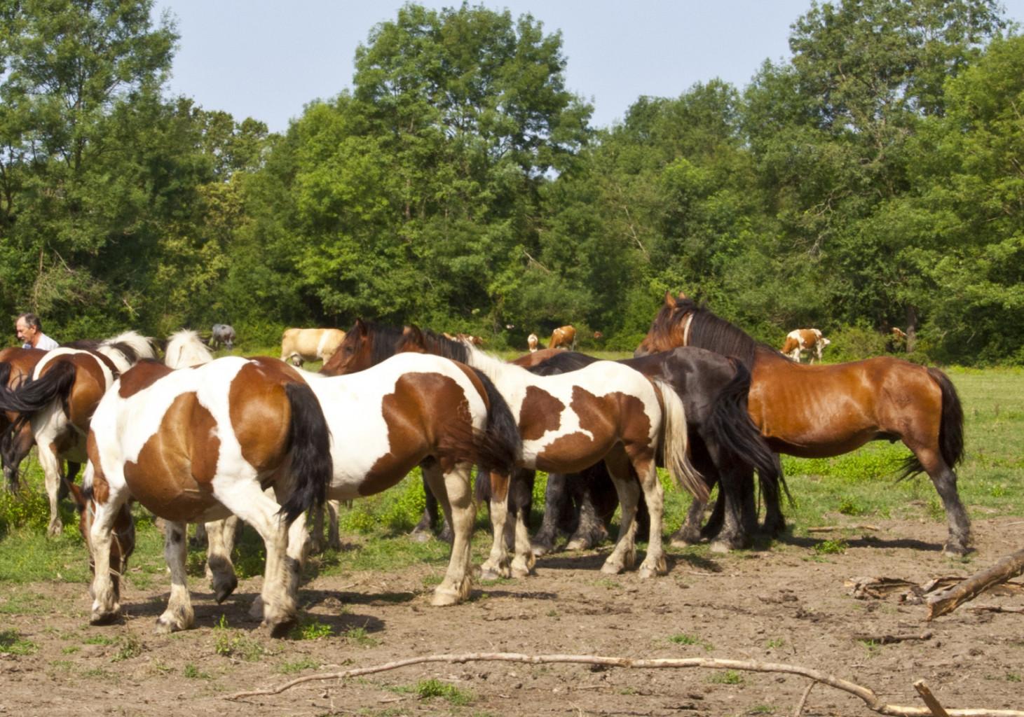 Lisavost je dominantna lastnost, ki se hitro razširi v populaciji konj.