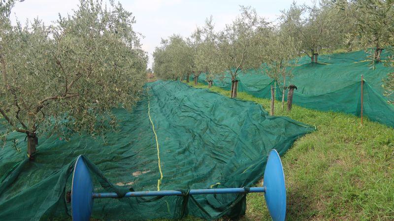 V oljčnikih Kantetovih v Šempasu so z obiranjem zaključili 1. novembra, drevesa obirajo s pnevmatskimi grabljicami, pod njih pa na terasah položijo 100 metrov dolge mreže, ki jih traktor namotava. Ko se v njih nabere 60 kilogramov plodov, jih stresejo na kup, da se plodovi ne poškodujejo.