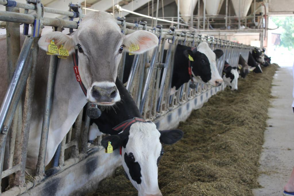 V hlevu imata med drugimi vrhunskimi kravami tudi Dayano, kravo črno bele pasme, ki je v standardni laktaciji dala 19.792 kilogramov in je na dan molzla tudi do 80 kg mleka.