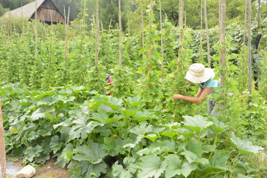 Vse leto pridelujejo raznovrstno zelenjavo