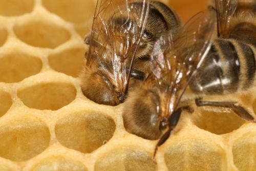 File:Apis mellifera carnica worker honeycomb.jpg - Wikimedia Commons