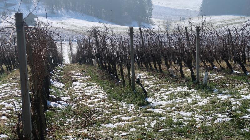 Jani vreže bo pri obdelavi vinogradov vztrajal, ne pa  nujno tudi manjši viršanjski  vinogradniki.